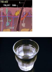 汗腺の構造